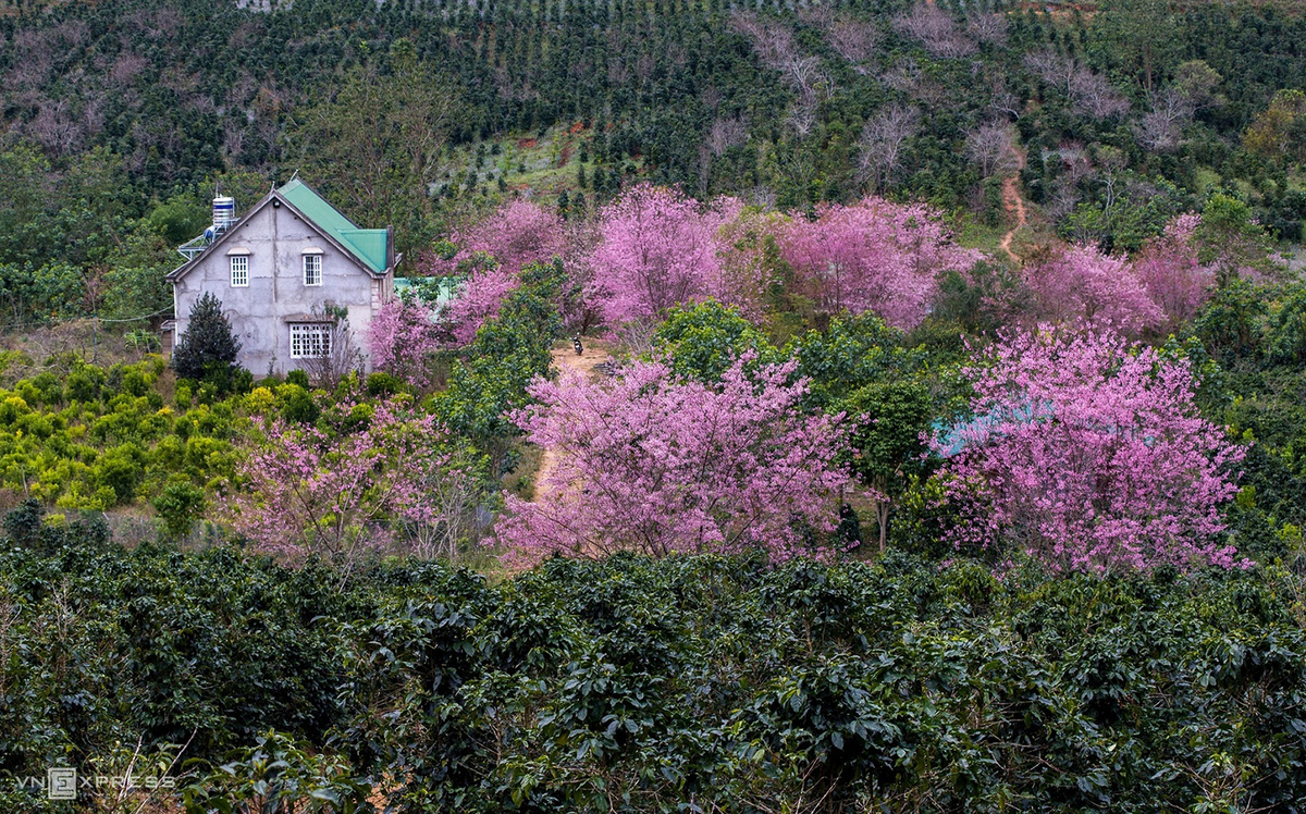 da lat blanketed in pink of blooming cherry blossoms