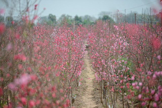 gorgeous scene in northern vietnams largest peach blossom growing hub