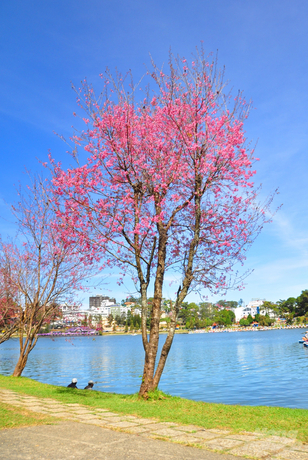 Da Lat puts on romantic outfit with pink cherry blossoms