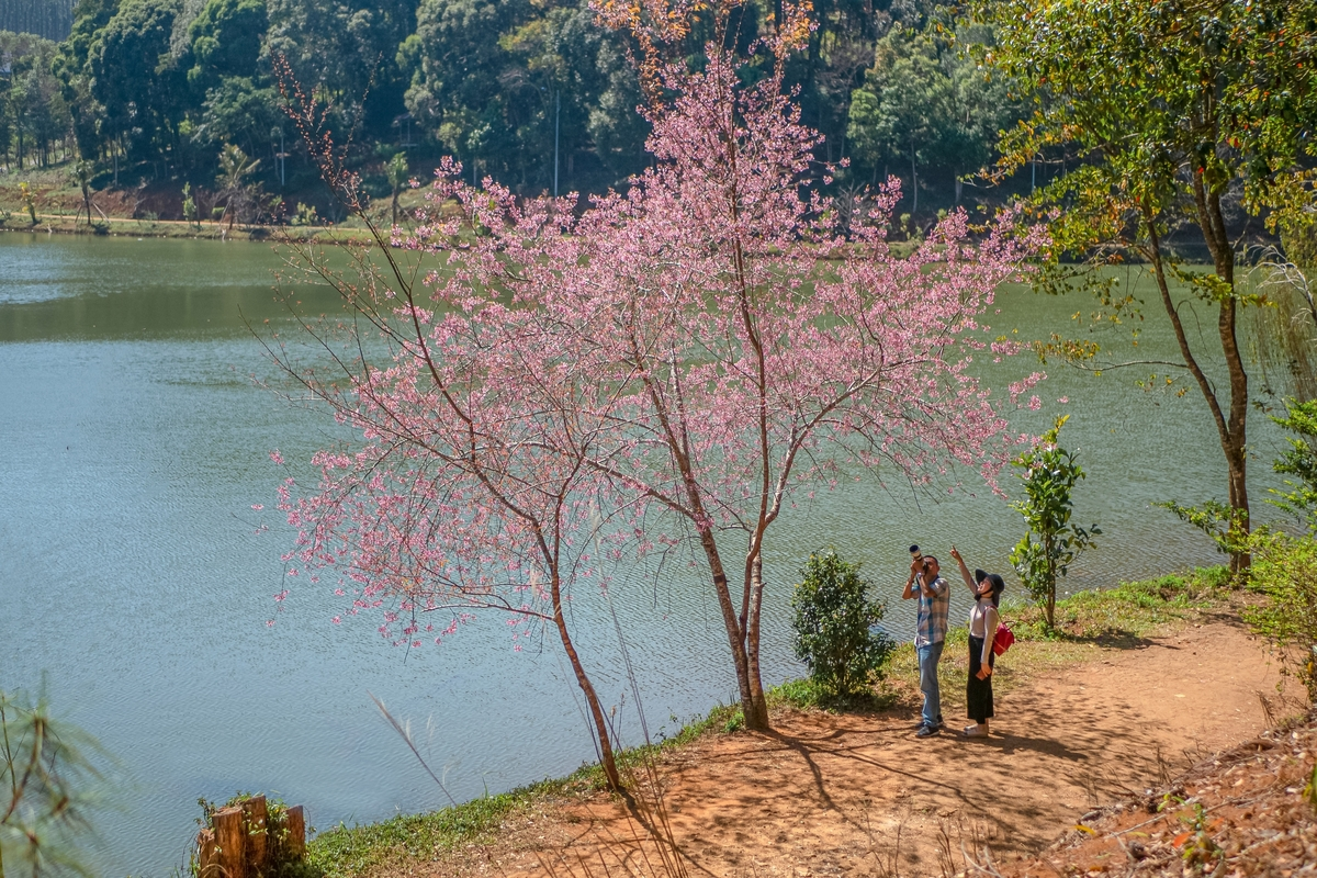 Beauty of cherry blossoms in seas of clouds in Mang Den town