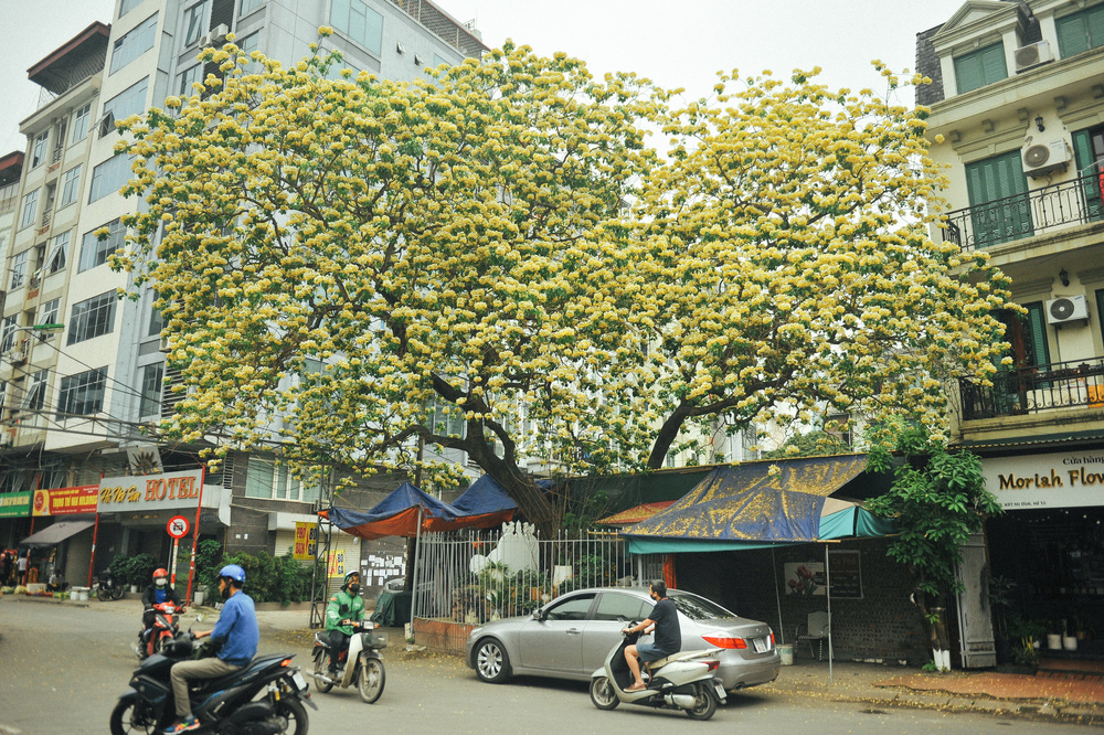 In Photos: 300-year-old Hoa Bun tree gorgeously blooms in the heart of Hanoi