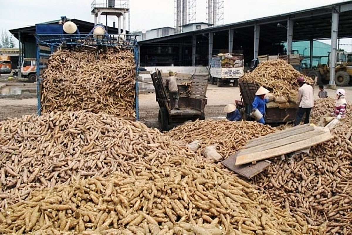 Vietnam's cassava exports enjoy sharp increase in first quarter of 2021