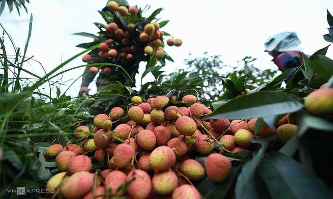 Government permits Chinese traders to enter Vietnam to buy lychees