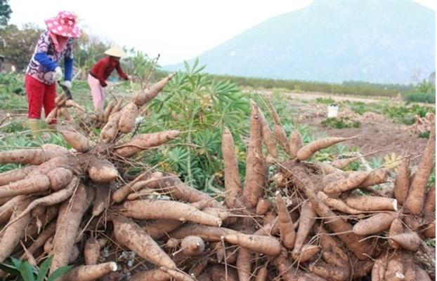 Vietnam's cassava exports enjoy surge in first four months of 2021