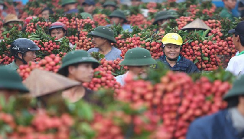 over 300 chinese traders and japanese experts are allowed to arrive in vietnam to buy lychees