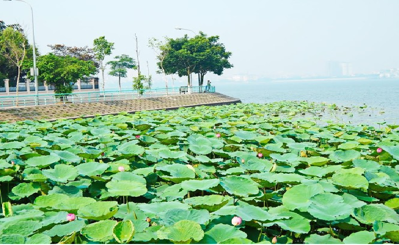 lotus flowers blooming in hanoi amid sweltering summer