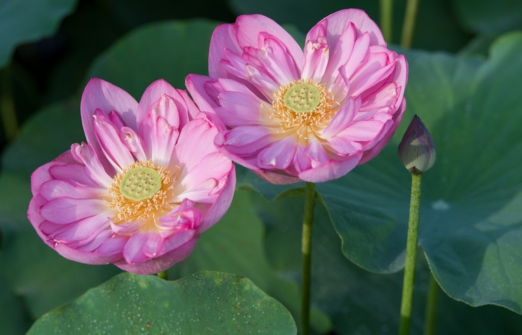 land lotus mother natures precious gift in boi khe temple