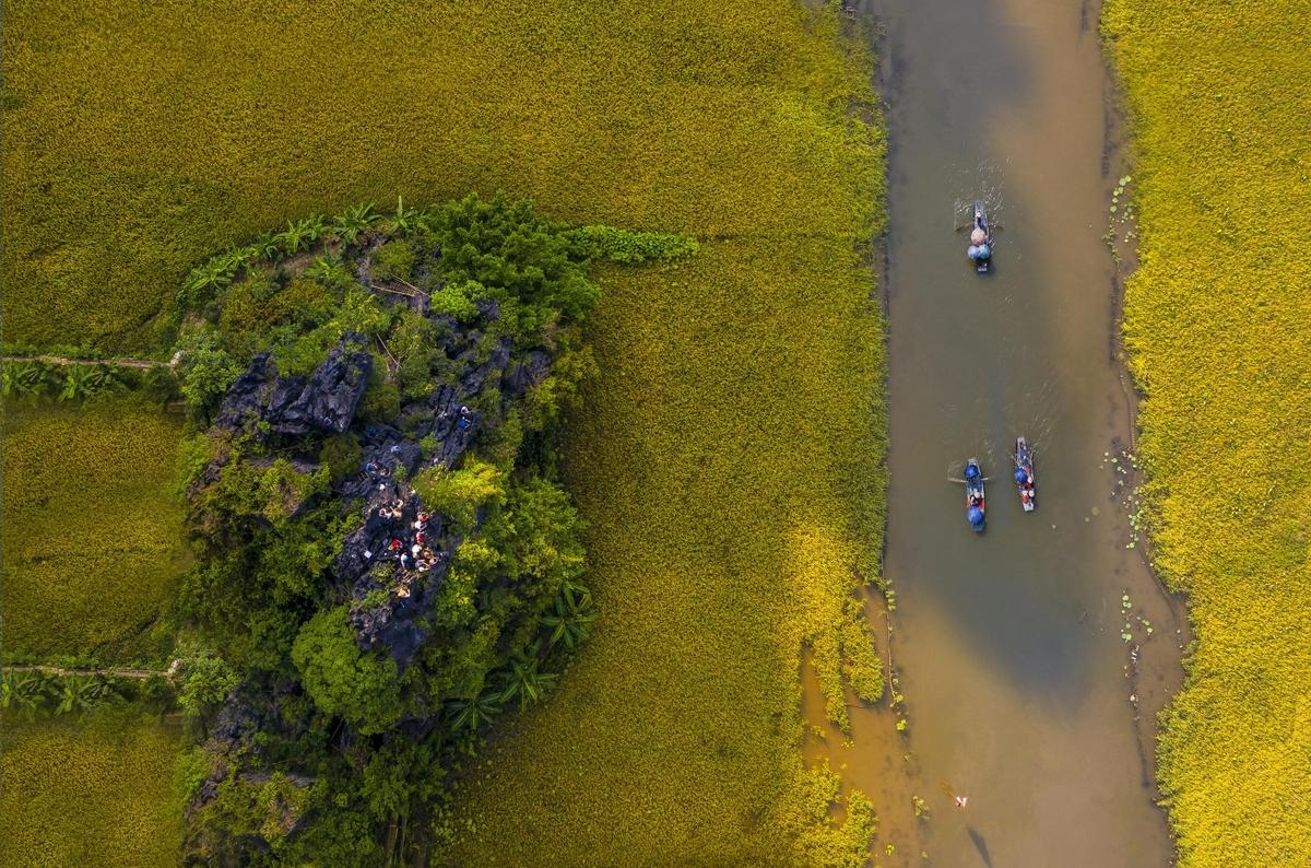 Breathtaking ripen paddy fields in Tam Coc, Ninh Binh