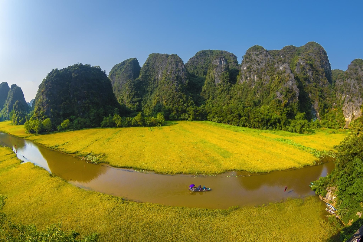 breathtaking ripen paddy fields in tam coc ninh binh