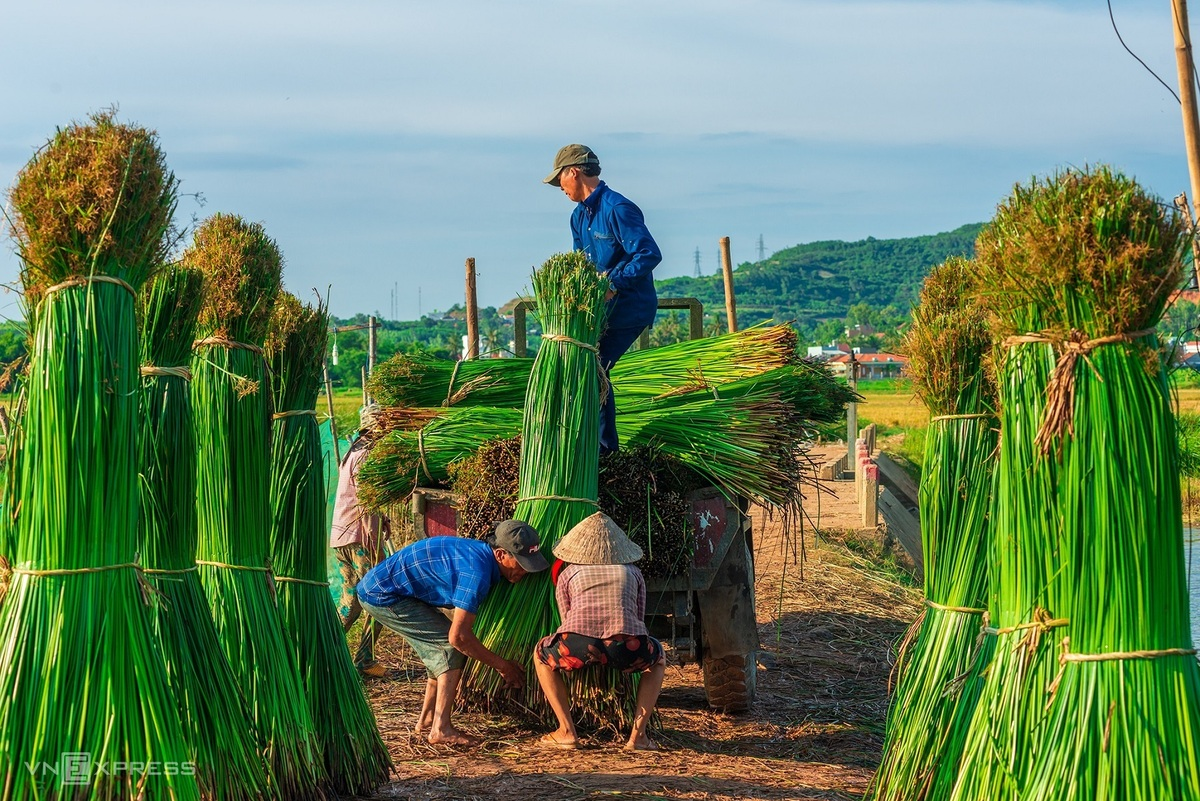 Sedge grass harvest in a 100-year-old mat-weaving village