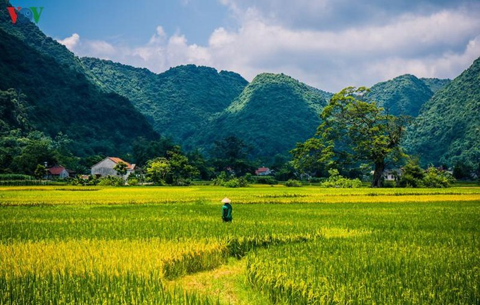 bac son valley in ripening rice season ideal place to seek tranquility