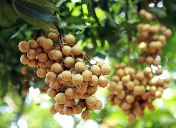 large batches of fresh vietnamese longan enter australian market