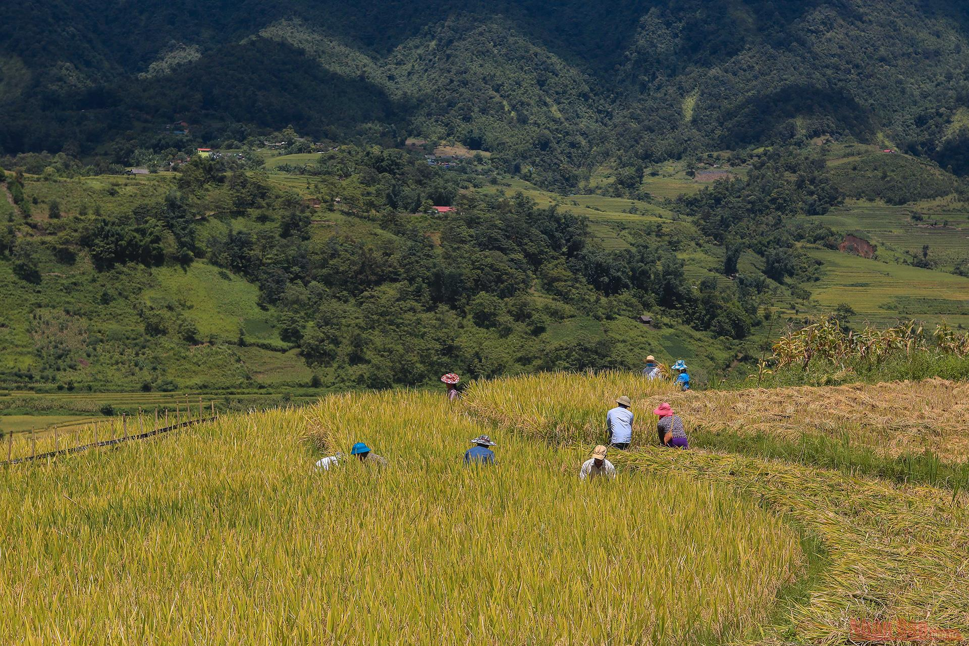 magnificent y ty plateau in ripening rice season