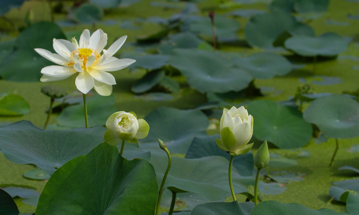 the graceful lotus flowers linger in hanoi late summer