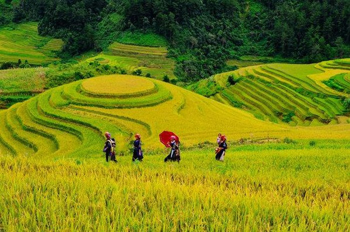 Mu Cang Chai in golden rice season, a feast for the eyes