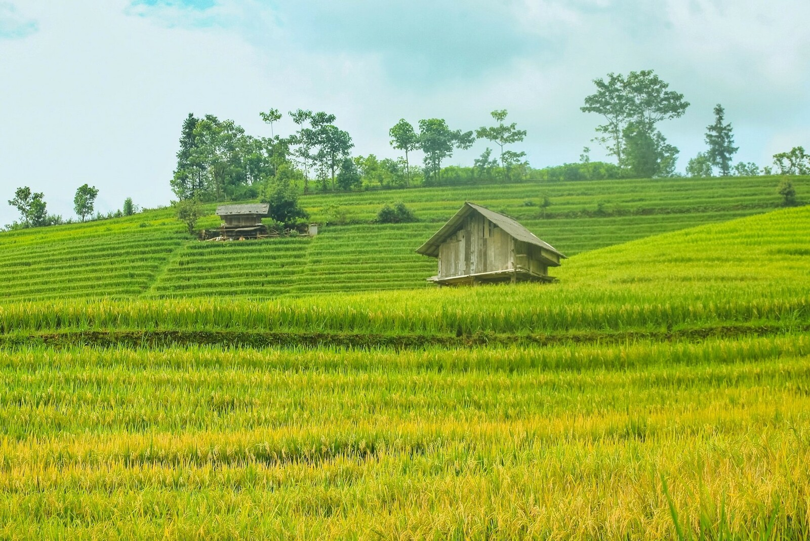 ripening rice season adorns beauty of northern vietnam