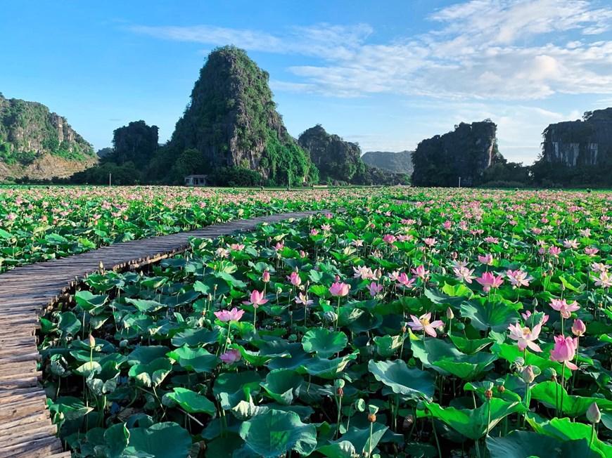 northern vietnams marvelous lotus lagoon suddenly blooms amidst autumn