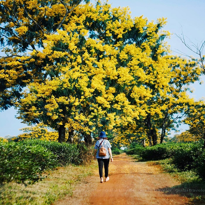golden glow of flowers throughout vietnam