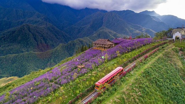 in photos ravishing violet flowers embellish beauty of sa pa