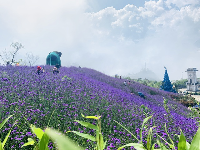 in photos ravishing violet flowers embellish beauty of sa pa