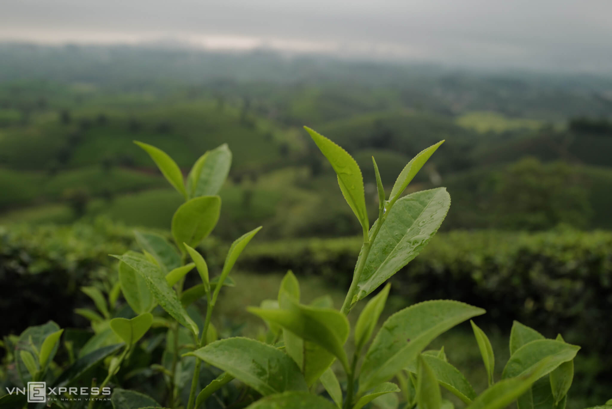 long coc the most beautiful tea hill in vietnams northern