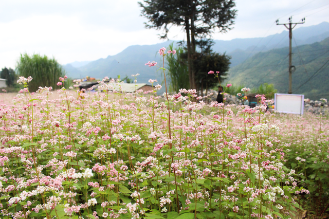 blooming buckwheat flowers bring lively color to ha giang