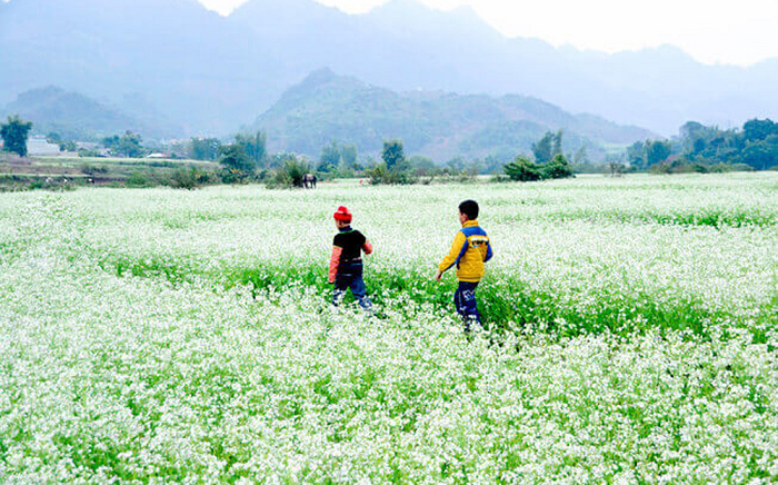 Blooming white rapeseed flowers add allures to Moc Chau plateau