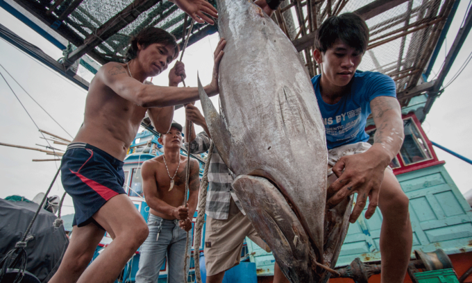 Vietnamese tuna exports to several markets bounce back vigorously
