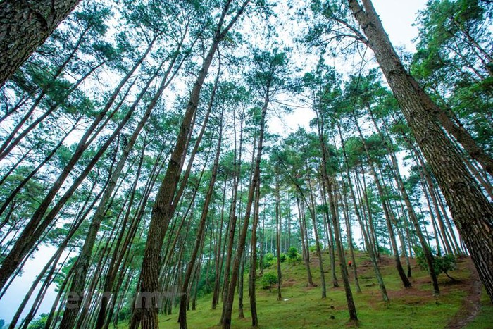 "Yen Minh pine forest, ""miniature Da Lat"" on the rocky plateau"