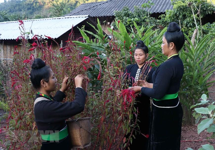 unique cockscomb flower tet festival of cong ethnic people