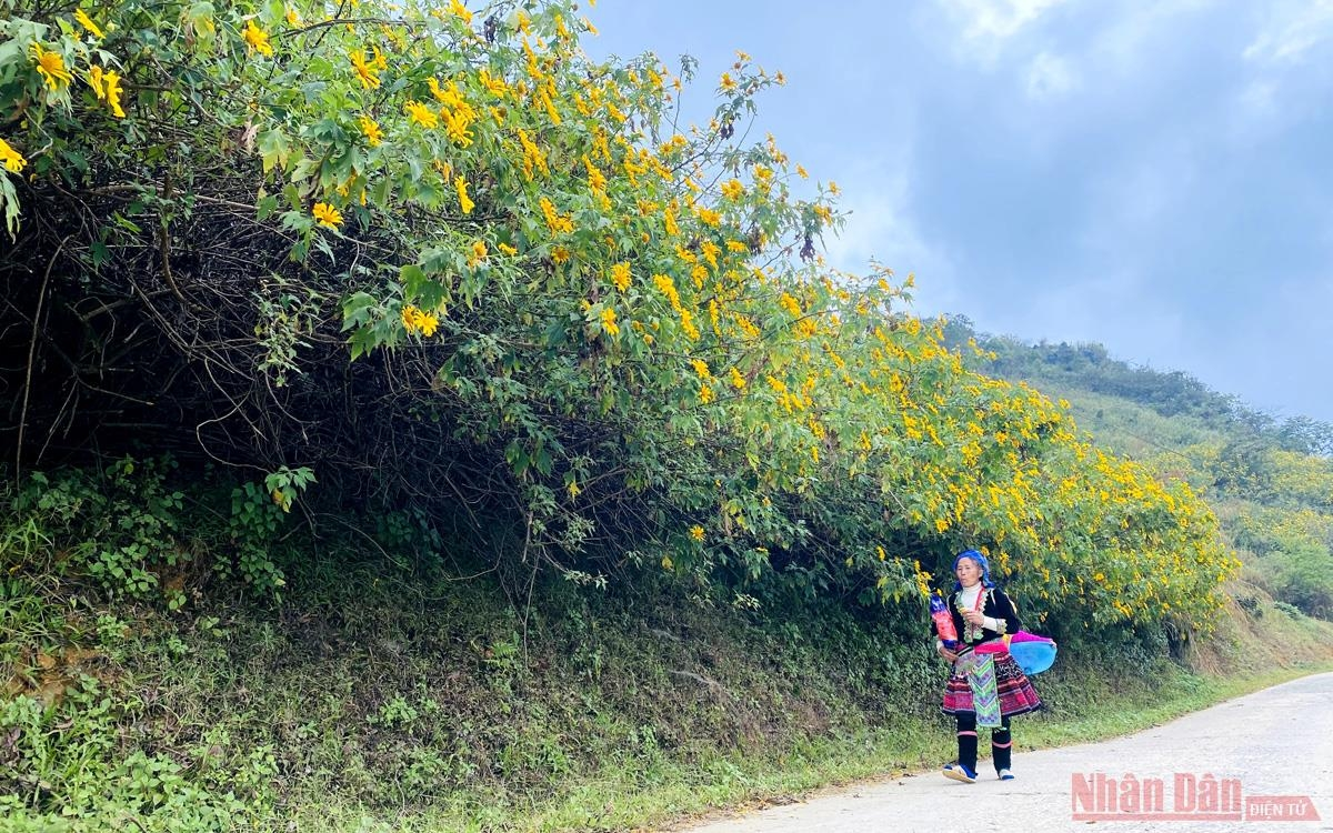 Sin Suoi Ho village dyed in yellow with Mexican sunflowers