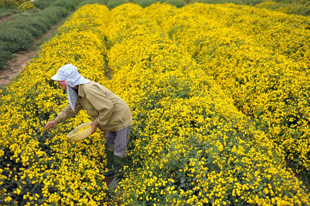 in photos blooming daisy season dyes yellow the crops in hung yen