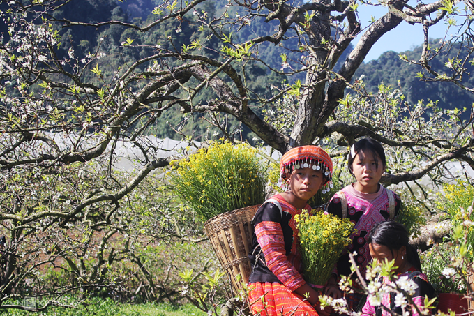 Five ideal places to admire plum blossoms in Moc Chau