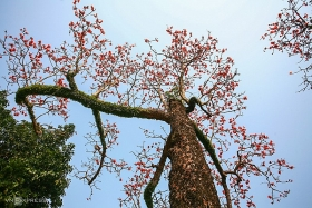 blossoming ablaze red bombax ceiba paints thay pagoda a highlighted sketch