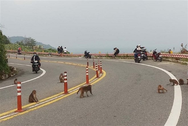 hundred of hungry monkeys brawling for foods on mountain pass in danang