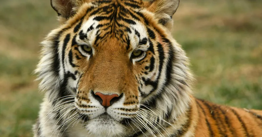 Tiger detected positive for coronavirus in the US, raising queries about transmission in animals