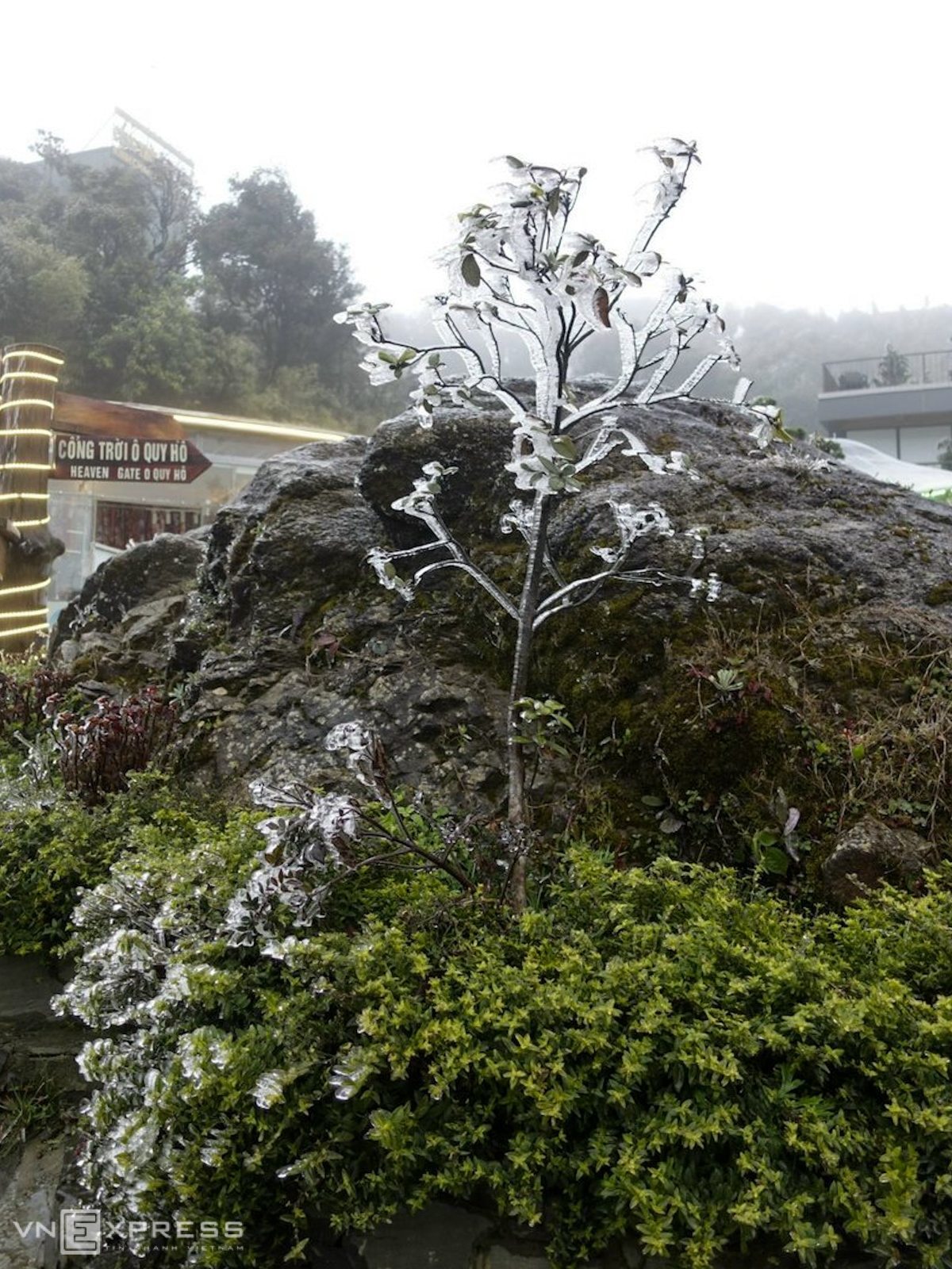 A tall tree turns white as it covered in frost (Photo: VNE)