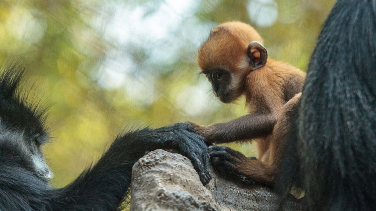 Stock photo of a baby françois' langur, or leaf monkey. according to the patriot-news, philadelphia zoo revealed friday on social media that langur was born parents mei and chester dec. 13