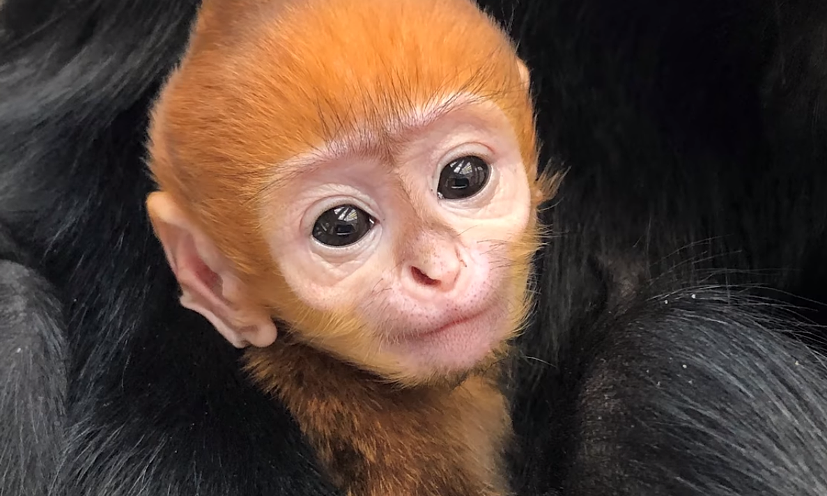 Endangered baby langur in Philadelphia given Vietnamese name