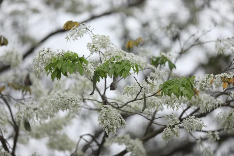 hanoi corners dazzle as white sua flowers in bloom