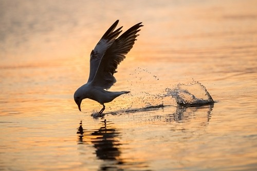 seagulls hunting season gives kien river gorgeous look