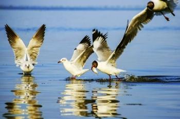 Seagulls hunting season gives Kien river gorgeous look