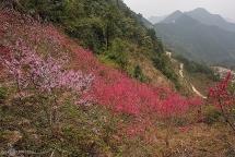 peach flowers turns northern vietnam mountain a pink carpet