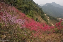 peach flowers turns northern vietnam mountain a pink carpet