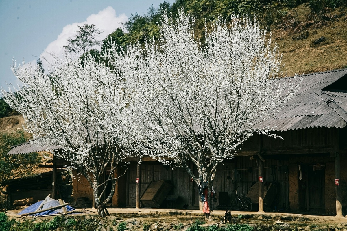 Lao Cai turns gorgeous in white plum blossoms