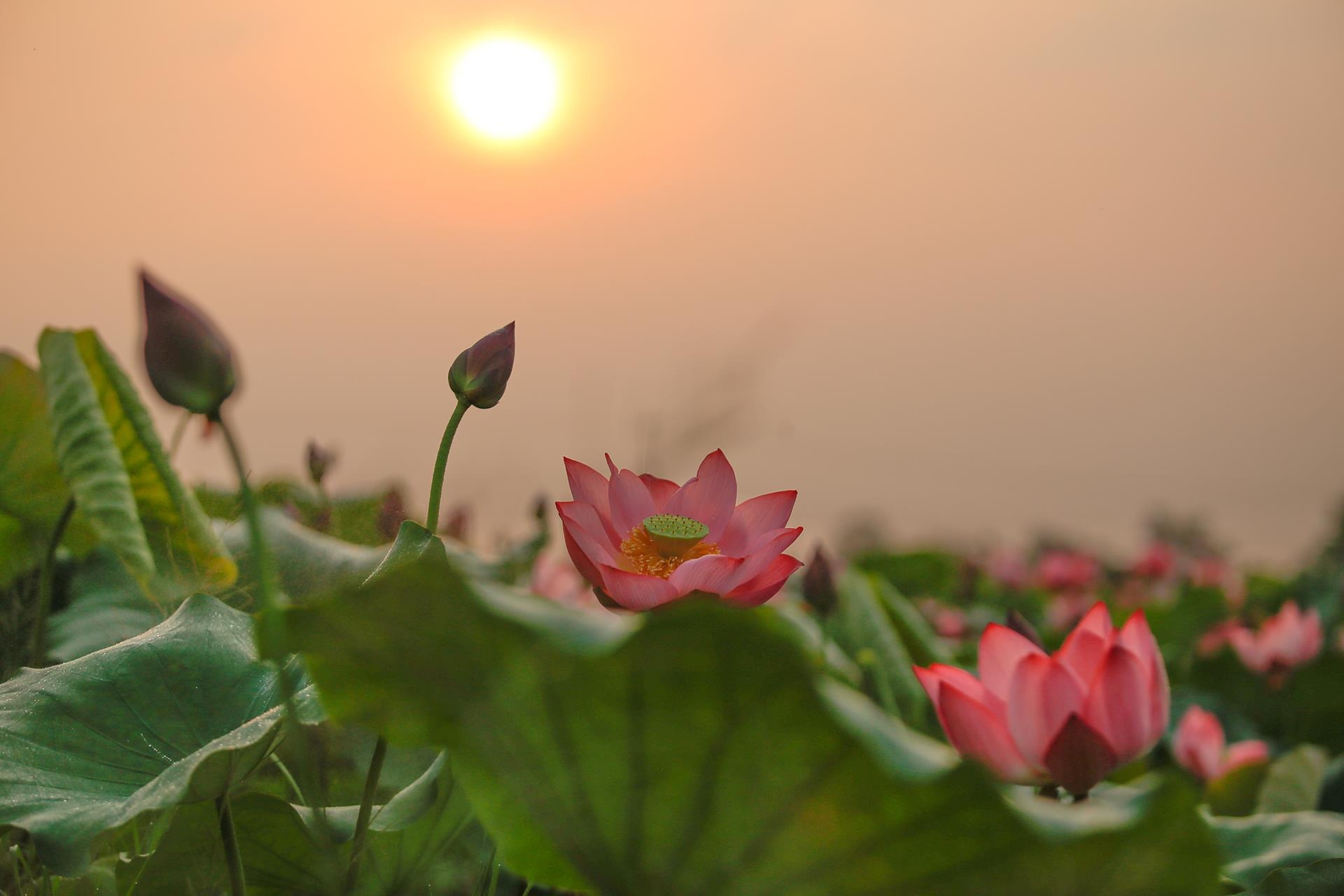 lotus flowers color the charming hue