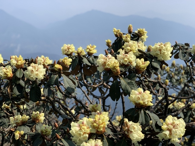 rhododendron simsii in bloom add charms to fansipan