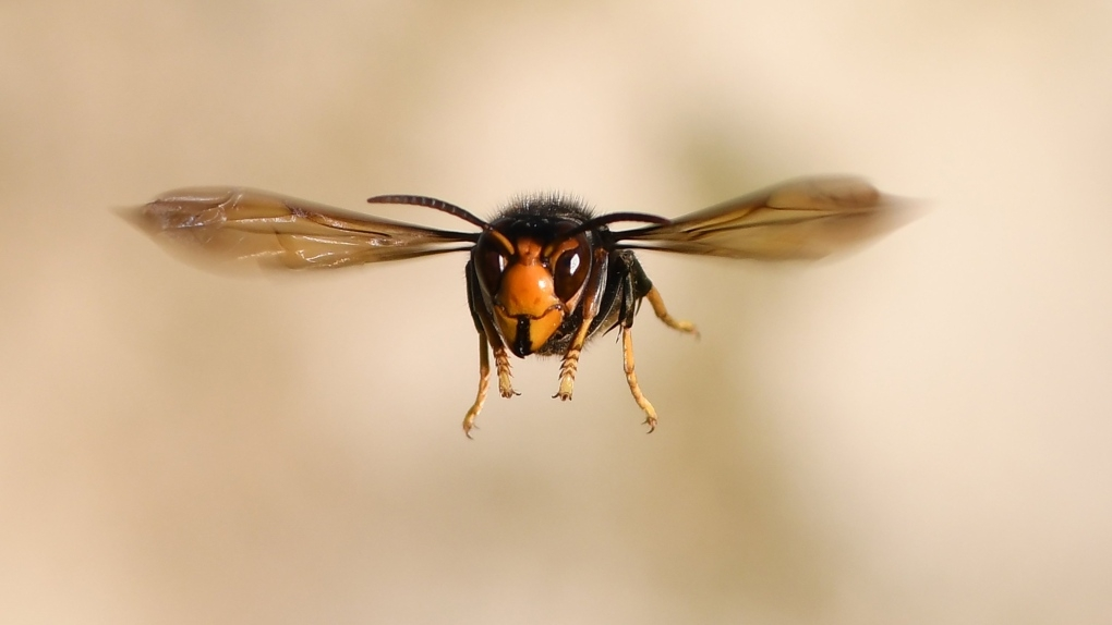 13 must know facts about murder hornets