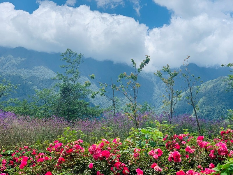 sapas rose valley recognised as largest one in vietnam
