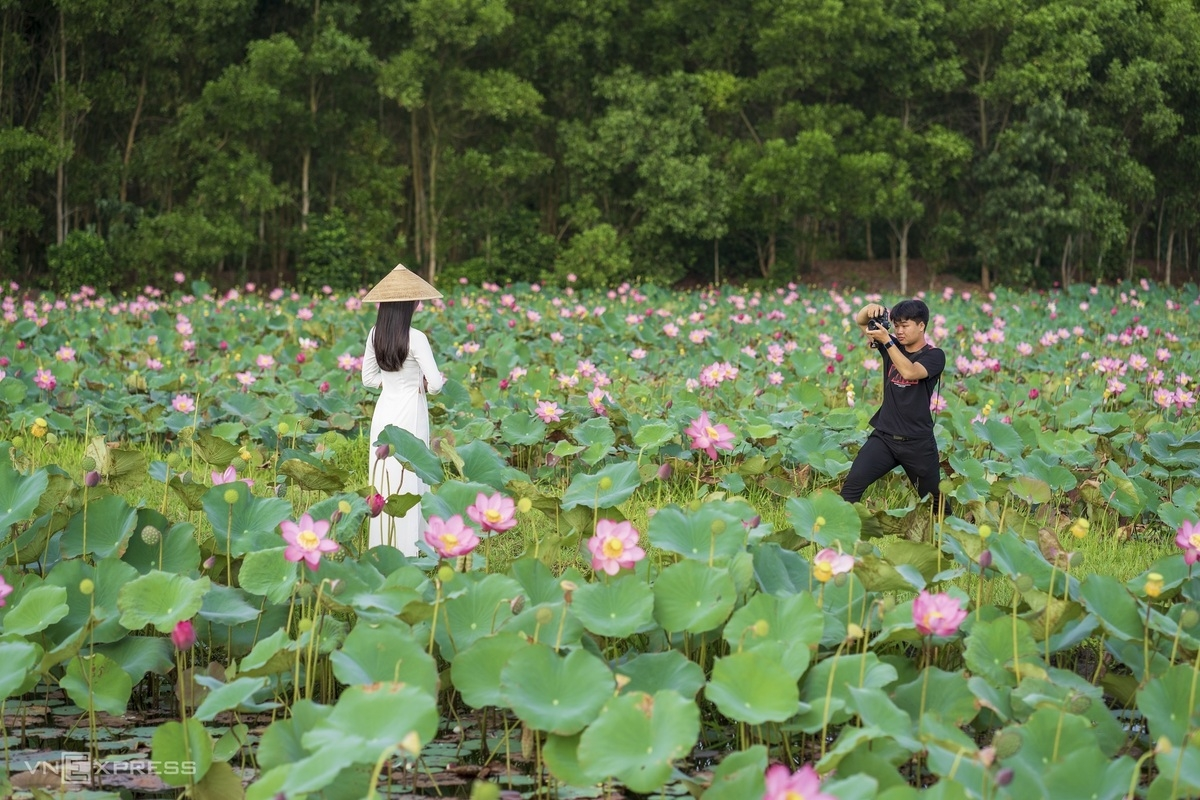 Blooming lotus flowers color the charming city of Hue